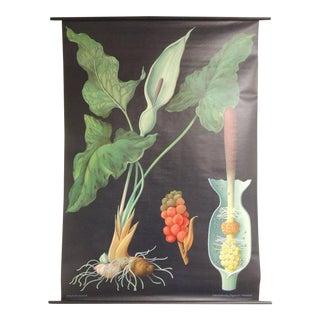 """Vintage Botanical West German Biology Print """"Arum"""" by Hagemann, Germany, 1972"""