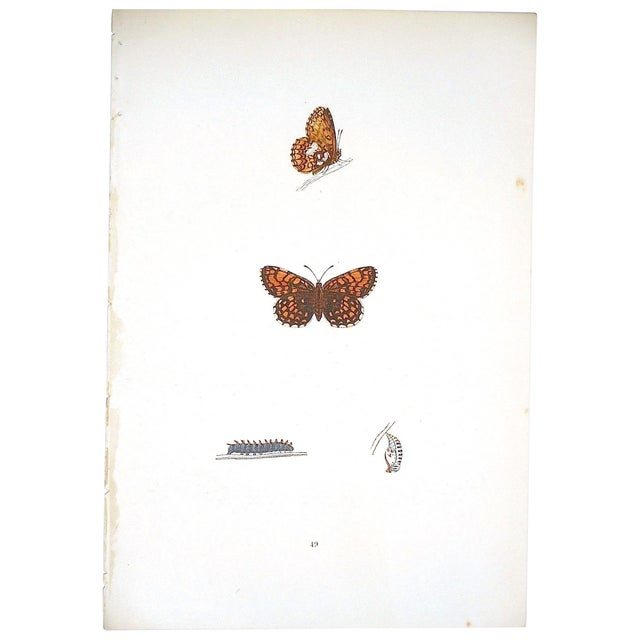 Image of Antique English Butterfly Lithograph