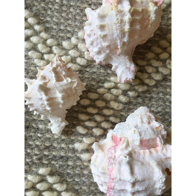 Natural Pink Queen Conch Set/3 Nautical Decor - Image 8 of 9