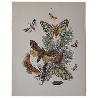 Antique Butterflies/Moths Chromolithograph