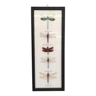 Vintage Mounted Dragonfly Specimens