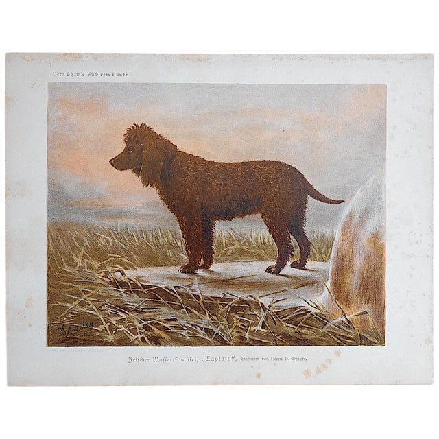 Image of Antique Dog Lithograph - Irish Water Spaniel