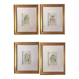 Original Botanical Illustrations c.1900 - Set of 4