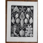Image of Under Sea Creature Lithos by Haeckel - Set of 3