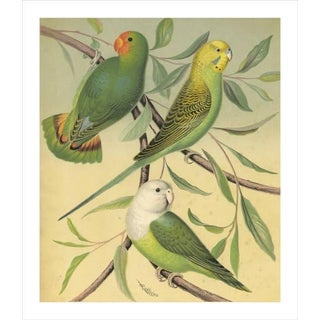 Antique 'Parakeet' Archival Print
