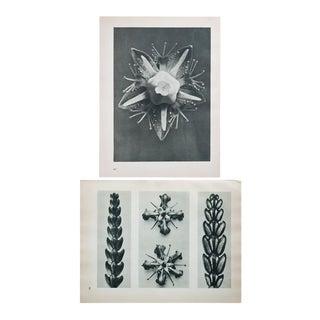 Karl Blossfeldt Double Sided Black & White Photogravure N59-60