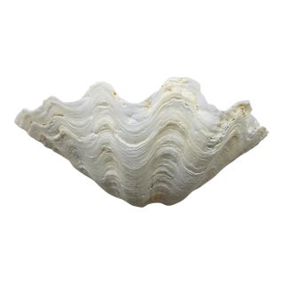 Natural Clam Shell Object