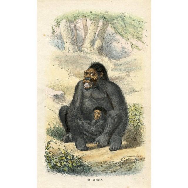 1864 Original Vintage Dutch Gorilla Print - Image 1 of 2