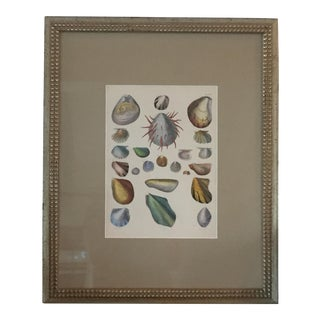 Vintage Framed Shell & Mollusk Print