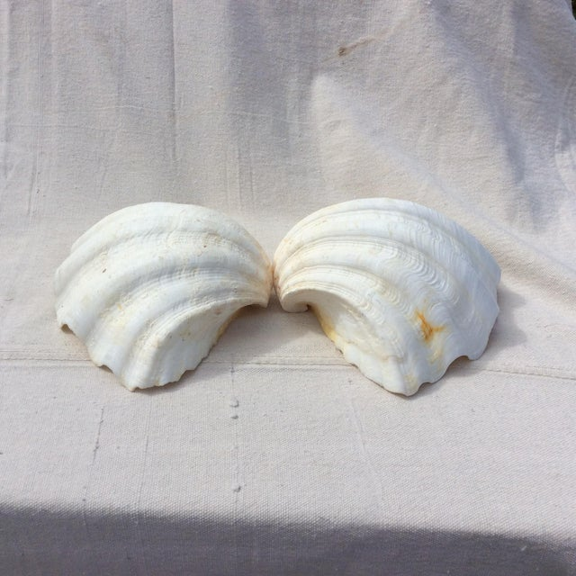 Two Large White Sea Shells - Image 6 of 8