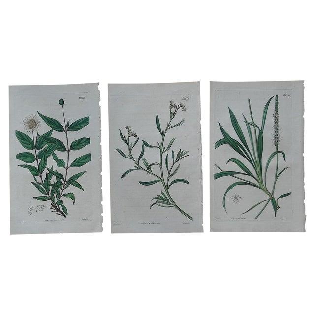 Antique Botanical Engravings - 3 - Image 1 of 3