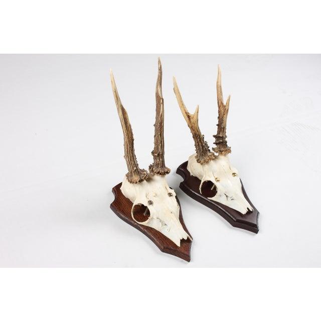 Mounted Roe Deer Antlers - Set of 2 - Image 3 of 4