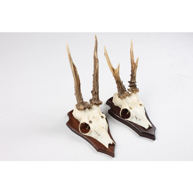 Image of Mounted Roe Deer Antlers - Set of 2