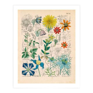 Antique 'Botanical Plate' Archival Print