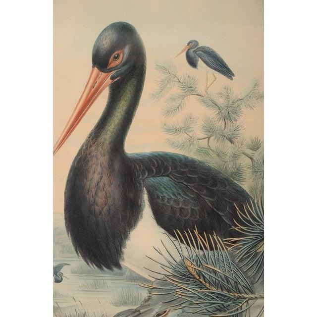 "John Gould ""Ciconia Nigra-Black Stork"" Bird Print - Image 4 of 7"