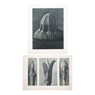 Karl Blossfeldt Double Sided Photogravure N9-10