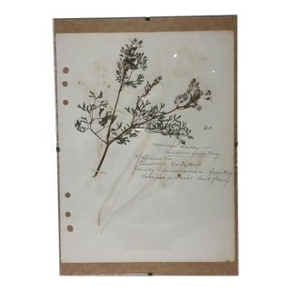 Vintage Fumitory Botanical Journal Page
