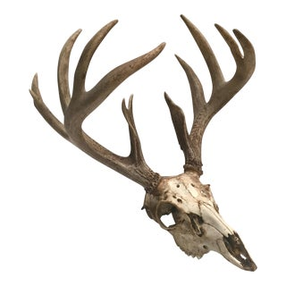 Natural 12-Point Deer Antlers and Skull