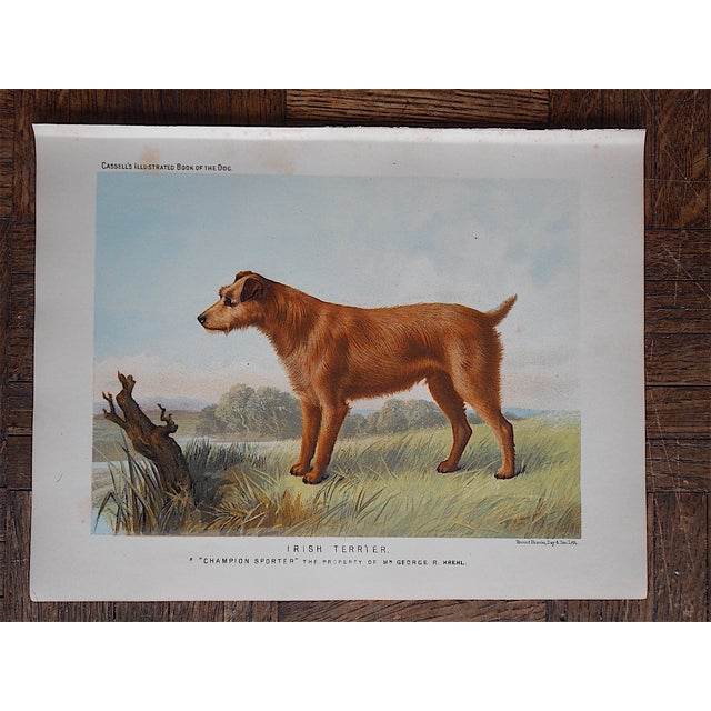 Antique Dog Irish Terrier Lithograph - Image 2 of 4