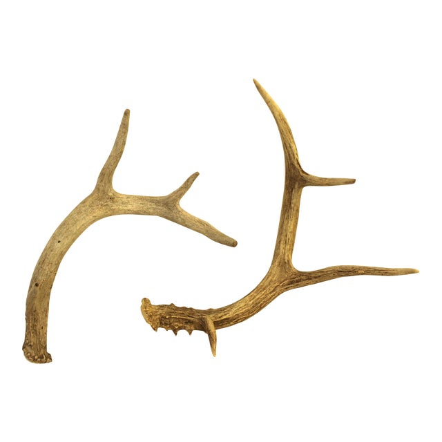 White-Tailed Deer Antlers - Pair - Image 1 of 4