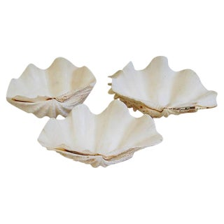 Natural Saltwater Clamshells - Set of 3