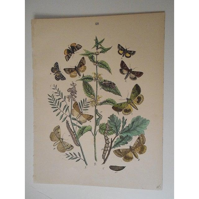 Antique Chromolithograph Butterflies/Moths - Image 2 of 2
