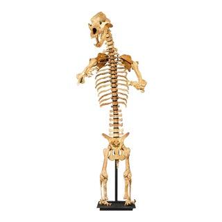 Rare Ice Age Cave Bear Skeleton