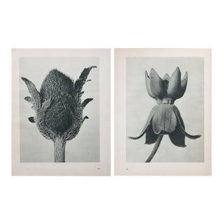 Karl Blossfeldt Double Sided Photogravure
