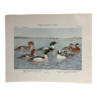Vintage Birds of New York Ducks Print