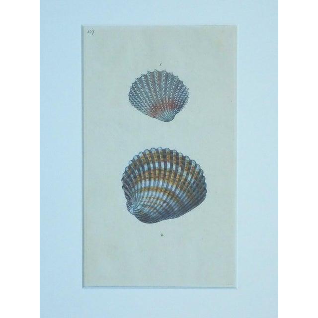 Cardita Shells, 1803 - Image 3 of 5