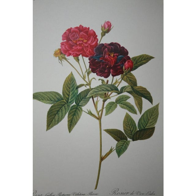 Original Pierre Redouté Botanical Prints - S/3 - Image 4 of 8
