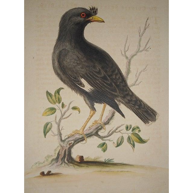 Image of 18th Century George Edwards Bird Engraving
