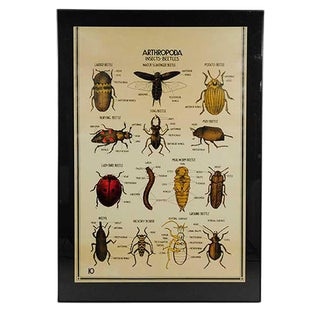 Vintage Arthropoda Beetles Poster