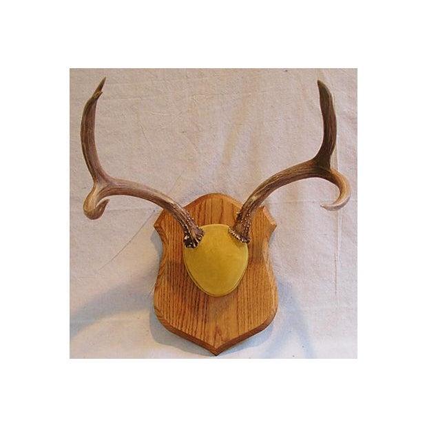 Mounted Trophy Deer Antlers on Wood Shield - Image 7 of 8