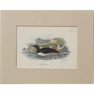 "1890 ""Bridled Guillemot"" Original Chromolithograph"