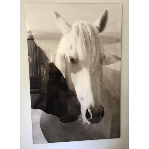 Image of Edelman Sermo Per Equus Lindisimo Photograph