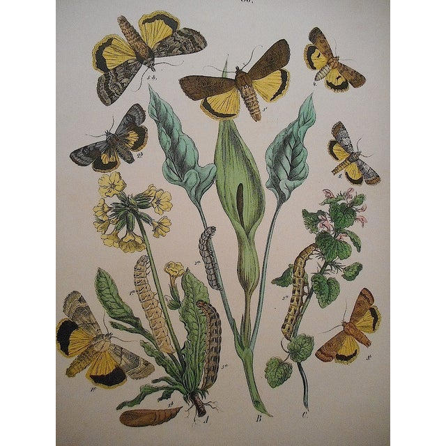 Antique Butterflies/Moths Lithograph - Image 3 of 3