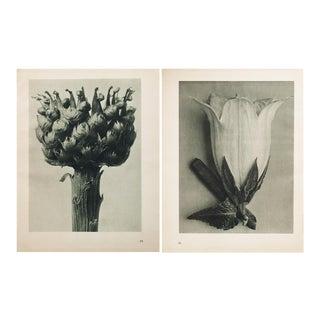Blossfeldt Double Sided Photogravure N95-96