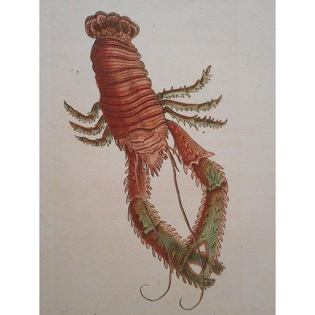 Image of Sea Creature Antique English Engraving