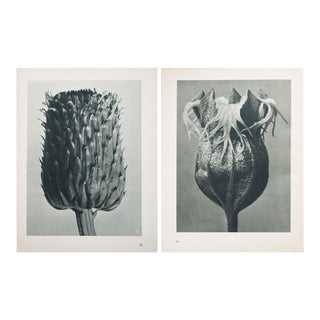 Karl Blossfeldt Double Sided Photogravure N73-74