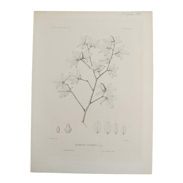 Quercus Toumeyi Antique Botanical Print - Image 1 of 4