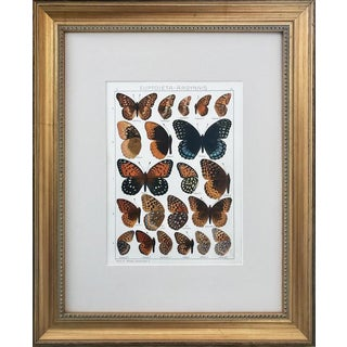 Antique Butterfly Specimen Lithograph by Seitz 1909