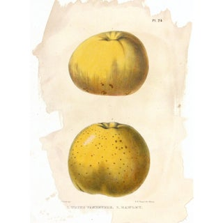 Original Antique of Golden Apples, C. 1850