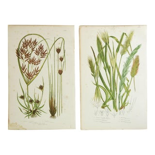 Antique Botanical Grasses Lithographs - A Pair