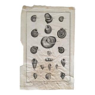 Bernard Fecit French Shell Antique Fine Art Print, C. 1700