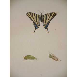 Antique Butterfly Lithograph