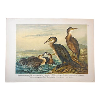 Antique Bird Lithograph, Water & Shore Birds