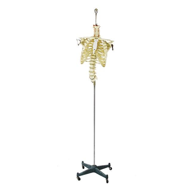Image of Vintage Skeleton Model on Cast Iron Stand