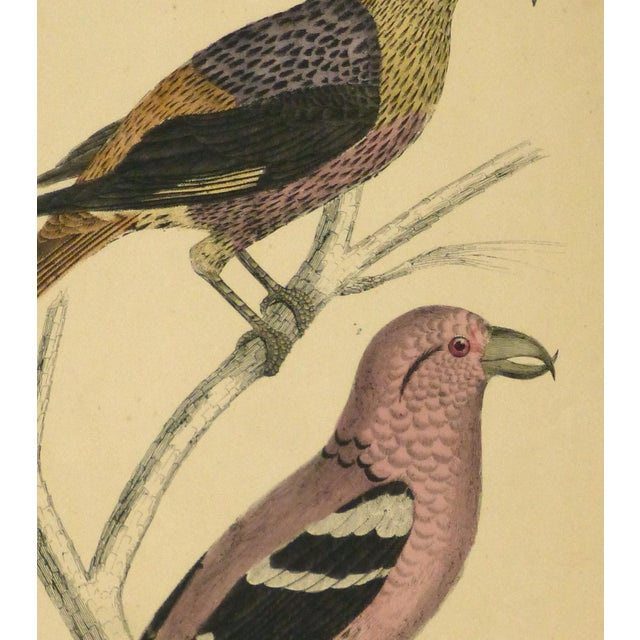 Antique Crossbill Birds Engraving, C. 1850 - Image 2 of 3