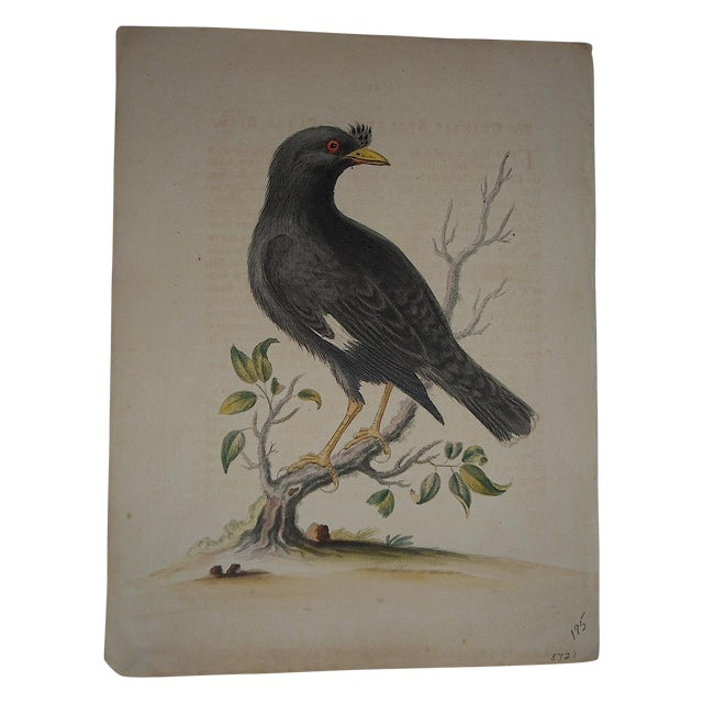 18th Century George Edwards Bird Engraving - Image 1 of 3